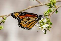 La farfalla della regina si è appollaiata su un ramo, alimentantesi i fiori bianchi, Immagine Stock Libera da Diritti