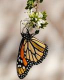 La farfalla della regina, sottosopra e le ali hanno piegato, alimentandosi il fiore Immagine Stock
