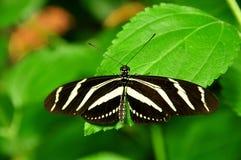 La farfalla della zebra fotografia stock libera da diritti