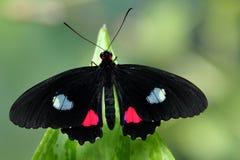 La farfalla dentellare di Cattleheart fotografie stock libere da diritti