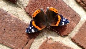 La farfalla di ammiraglio rosso Fotografia Stock Libera da Diritti