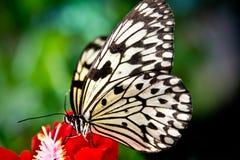 La farfalla di carta del cervo volante Fotografie Stock