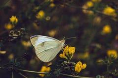 La farfalla di cavolo bianco si siede su un fiore giallo su un fondo vago Pieris rapae dalle pieridae della famiglia Ali struttur fotografia stock libera da diritti