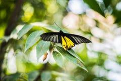 La farfalla di giallo di Beautiflu espande le ali fotografie stock libere da diritti