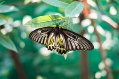 La farfalla di giallo di Beautiflu espande le ali gialle fotografie stock