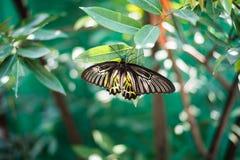La farfalla di giallo di Beautiflu espande le grandi ali fotografie stock
