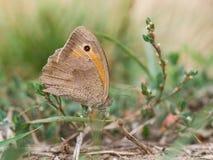 La farfalla di jurtina di Maniola di marrone del prato che si siede su un'erba fotografie stock