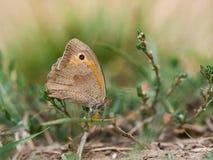 La farfalla di jurtina di Maniola di marrone del prato che si siede su un'erba fotografia stock libera da diritti