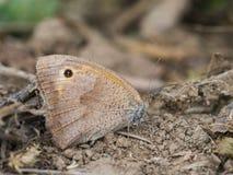 La farfalla di jurtina di Maniola di marrone del prato che si siede su una terra fotografie stock libere da diritti