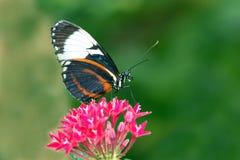 La farfalla di Longwing Fotografia Stock