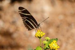 La farfalla di Longwing della zebra si è appollaiata su un fiore giallo del deserto Immagine Stock Libera da Diritti