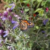 La farfalla di monarca Fotografia Stock