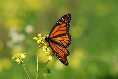 La farfalla di monarca immagini stock