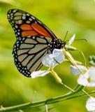 La farfalla di monarca beve il nettare del fiore Fotografie Stock
