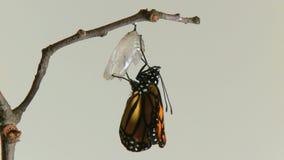 la farfalla di monarca emerge chry video d archivio