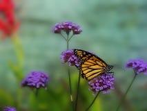 La farfalla di monarca si siede Immagine Stock