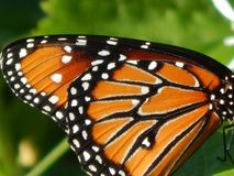 La farfalla di monarca traversa soltanto i modelli volando dell'arancia e del nero Immagini Stock Libere da Diritti