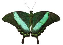 La farfalla di pavone verde-legata isolata su fondo bianco immagine stock
