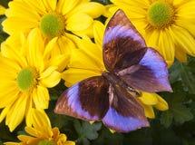 La farfalla di Saturn Immagini Stock