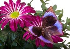 La farfalla di Saturn Fotografia Stock