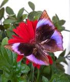 La farfalla di Saturn Immagini Stock Libere da Diritti