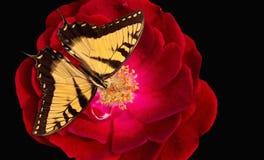 La farfalla di Swallowtail della tigre su è aumentato Fotografie Stock Libere da Diritti