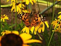 La farfalla dipinta di signora raccoglie il polline Immagine Stock