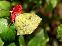La farfalla ed il fiore Immagini Stock