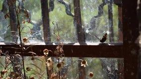 La farfalla fluttua vicino alla vecchia finestra lustrata con una grata archivi video