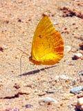 La farfalla gialla Fotografia Stock
