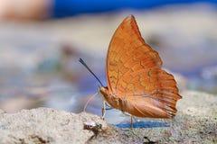La farfalla gialla del marmax di Charaxes di ragià Immagine Stock Libera da Diritti