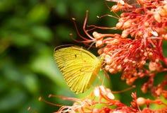 La farfalla gialla mangia il nettare Fotografia Stock Libera da Diritti