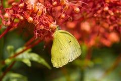 La farfalla gialla mangia il nettare Immagini Stock