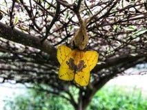 La farfalla gialla si accinge al permesso le crisalidi fotografia stock