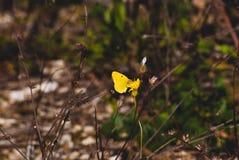 La farfalla gialla si siede su un ramo Macro immagine stock