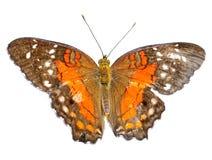 La farfalla ha isolato Fotografia Stock Libera da Diritti