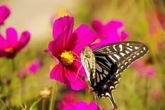 La farfalla indugia sopra il fiore Immagini Stock