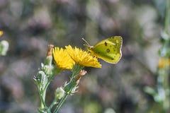 La farfalla mangia il polline su un fiore di Yelow Fotografie Stock Libere da Diritti