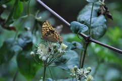 La farfalla marrone tenera sta sedendosi sui piccoli fiori bianchi fotografia stock libera da diritti