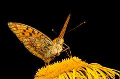 La farfalla Mesoacidalia Aglaia beve il nettare da un fiore Fotografie Stock Libere da Diritti