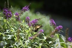 La farfalla nel giardino fotografia stock libera da diritti