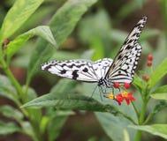 La farfalla nera bianca Fotografia Stock Libera da Diritti