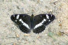 La farfalla nera si siede sulla sabbia della traccia della foresta, un bello insetto nella natura Immagini Stock Libere da Diritti