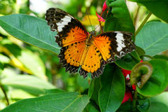 La farfalla normale del Lacewing Fotografia Stock Libera da Diritti