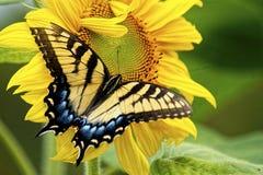 La farfalla orientale di coda di rondine lavora ad una fioritura gialla del girasole. Fotografia Stock Libera da Diritti