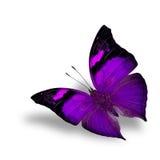 La farfalla porpora di bello volo sul wiith bianco del fondo Immagini Stock