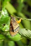 La farfalla pospone le uova su una filiale verde Fotografia Stock