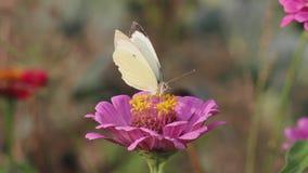 La farfalla raccoglie il nettare sul fiore video d archivio