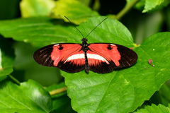 La farfalla sconosciuta Immagine Stock
