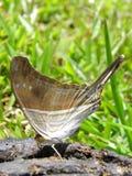 La farfalla si alimenta lo sterco di mucca Immagine Stock